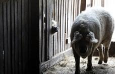 Ilyen még nem volt, francia húsosok áradoznak a göndörszőrű magyar mangalicáról