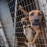 Külön üzletág lett a fajtatisztának hazudott, de genetikailag selejtes kutyák eladása
