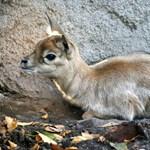 Alig áll még a lábán az állatkerti antilopbébi - fotók