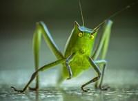 """""""Kétmilliárdan rendszeresen esznek rovarokat – a többieknek még egy kis biztatásra van szükségük"""""""