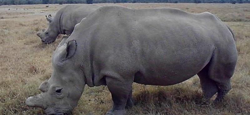Az utolsó utáni pillanatban talán megmenekülhet a Földön már csak két példányban élő orrszarvú
