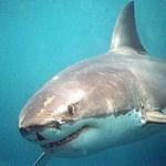 Befogták a nyaralókra támadó cápákat