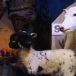 Kétfejű tehén, zsugorított koponya  és a kacsacsőrű nő
