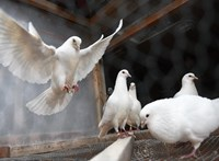 Tollas szárnnyal repül a különleges robotgalamb – videó
