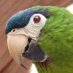 Részeg papagájsereg Ausztráliában