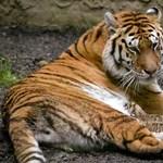 Megette öthetes kicsinyeit a jeruzsálemi állatkert szibériai tigrise