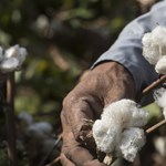 Gyapottal számolná fel az éhezést egy texasi kutatócsoport